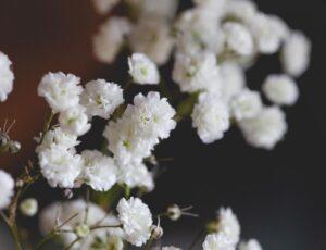 Do Baby's Breath Flowers Die?